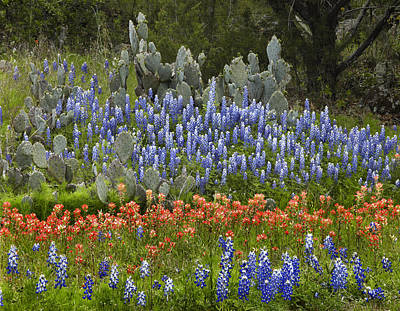 Bluebonnets Paintbrush And Prickly Pear Poster by Tim Fitzharris