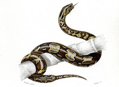 Boa Constrictor Poster by Collection Abecasis