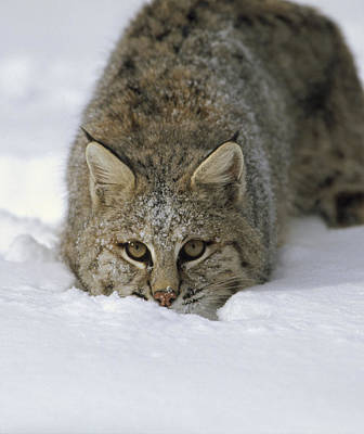 Bobcat Crouching In Snow Colorado Poster by Konrad Wothe