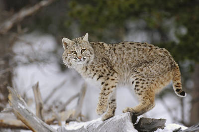 Bobcat In Winter Colorado Poster by Konrad Wothe