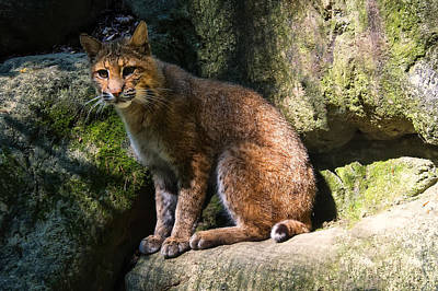 Bobcat Resting On Rocks Poster by Chris Flees