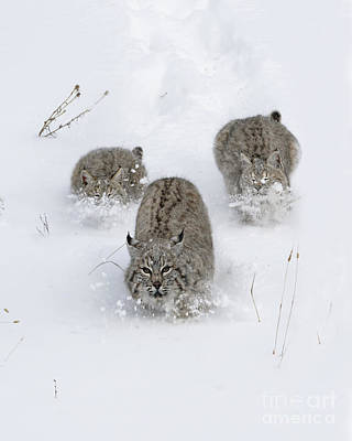 Bobcat Trio Poster by Wildlife Fine Art