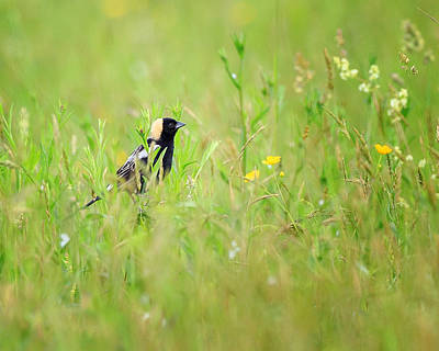 Bobolink In The Grass Poster by Bill Wakeley