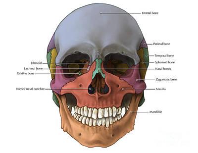 Bones Of The Skull Anterior Poster by Evan Oto