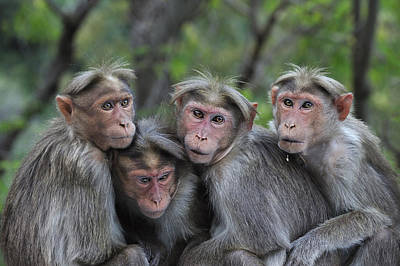 Bonnet Macaques Huddling India Poster by Thomas Marent
