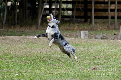 Border Collie Catching A Ball Poster by William H. Mullins