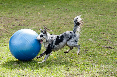 Border Collie Chasing Ball Poster by William H. Mullins