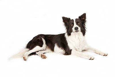 Border Collie Dog Looking Forward Poster by Susan  Schmitz