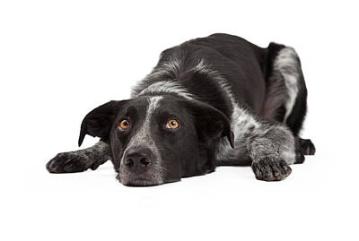 Border Collie Laying Head Down Poster by Susan  Schmitz
