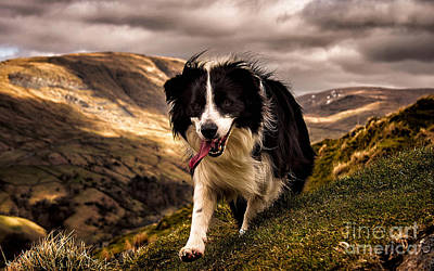 Border Collie  Poster by Marvin Blaine