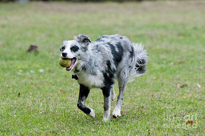 Border Collie Retrieving A Ball Poster by William H. Mullins