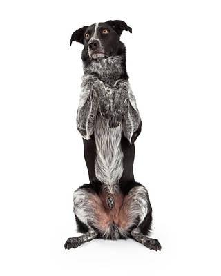 Border Collie Sitting Paws Up Poster by Susan  Schmitz