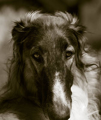 Borzoi Hound Portrait Poster by Christian Lagereek
