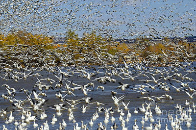 Bosque Del Apache Snow Geese In Paradise Poster by Bob Christopher
