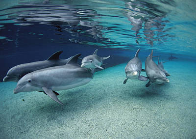 Bottlenose Dolphins In Shallow Water Poster by Flip Nicklin
