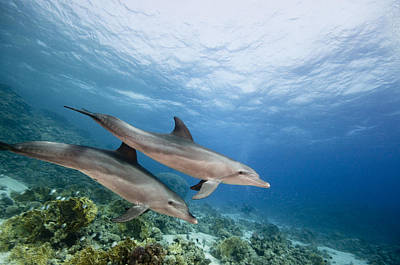 Bottlenose Dolphins Swimming Over Reef Poster by Dray van Beeck