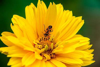 Box Elder Bug Feeding Poster by Douglas Barnett