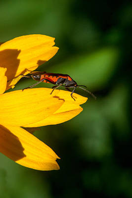 Box Elder Bug Reasting On A Petal Poster by Douglas Barnett