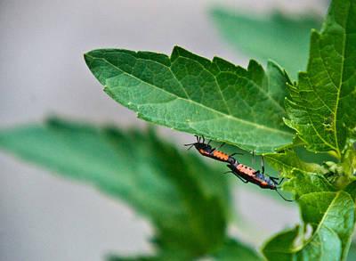 Box Elder Bugs Mating 1 Poster by Douglas Barnett
