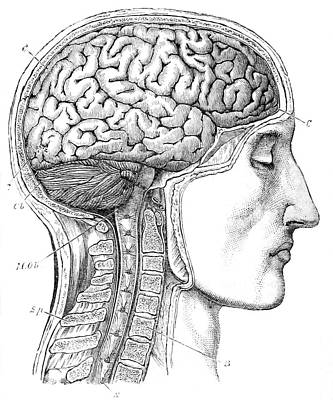 Brain From Right Side, 1883 Poster by British Library