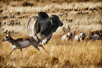Brahma Bull Meets The Pronghorn Poster by Priscilla Burgers