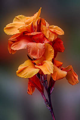 Bright Canna Lily Poster by Linda Phelps