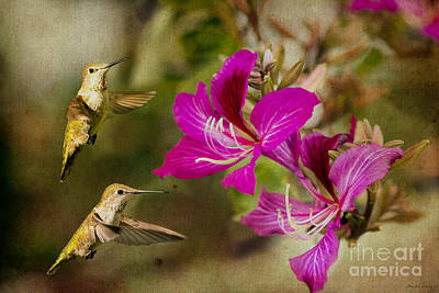 Broad-tailed Hummingbirds At Play Poster by MaryJane Armstrong