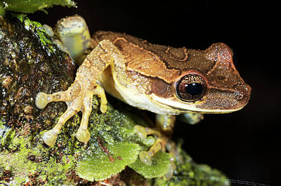 Bromeliad Treefrog Poster by Dr Morley Read