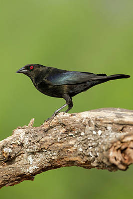 Bronzed Cowbird (molothrus Aeneus Poster by Larry Ditto