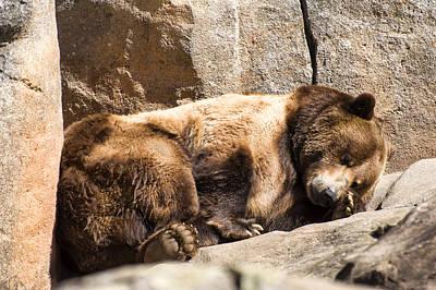 Brown Bear Asleep Again Poster by Chris Flees