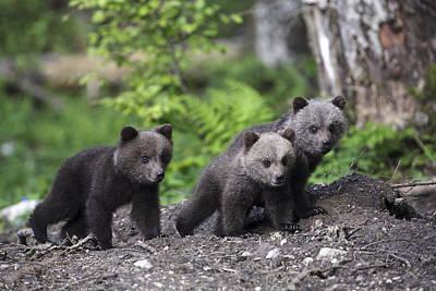 Brown Bear Cubs Croatia Poster by Lesley van Loo