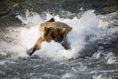 Brown Bear Dives Into Brooks River For Poster by Carl R. Battreall