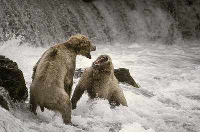 Brown Bear Fight Over Fishing Territory Poster by Ron Sanford