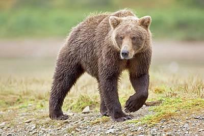 Brown Bear Poster by John Devries