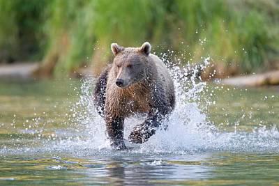 Brown Bear Running In Water Poster by John Devries