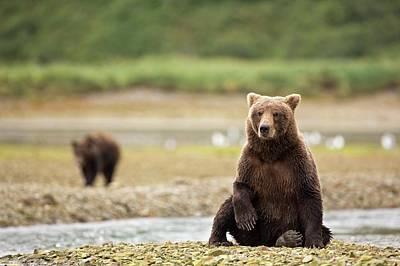 Brown Bear Sitting On Beach Poster by John Devries