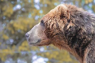 Brown Bear Smile Poster by Dan Sproul