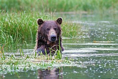 Brown Bear Swimming Poster by John Devries