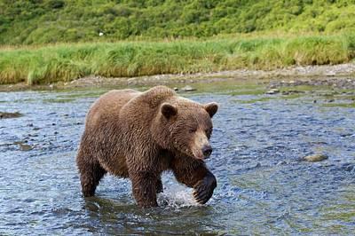 Brown Bear Walking In Water Poster by John Devries
