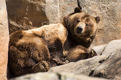 Brown Bear Winks Poster by Chris Flees