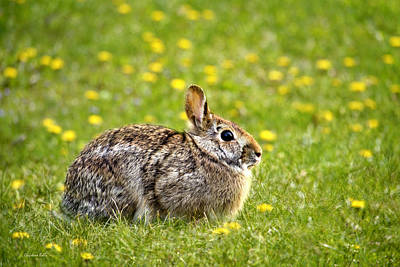 Brown Bunny In Green Grass Poster by Christina Rollo