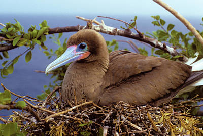 Brown Color Morph Of Red-footed Booby Poster by Thomas Wiewandt