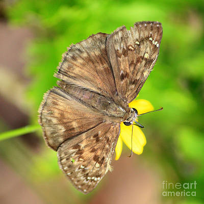 Brown Skipper Butterfly Square Poster by Carol Groenen