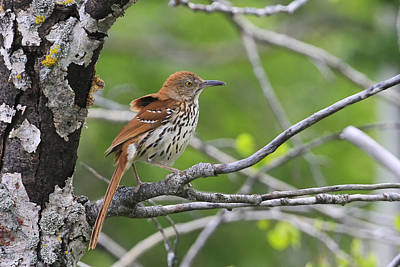 Brown Thrasher Poster by Gary Hall