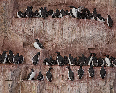 Brunnichs Guillemot Uria Lomvia Poster by Panoramic Images
