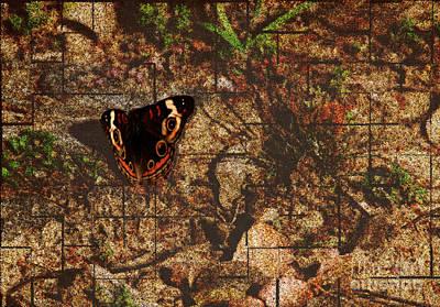 Buckeye Butterfly Poster by Amanda Collins