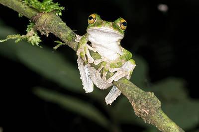 Buckley S Slender-legged Treefrog Poster by Dr Morley Read