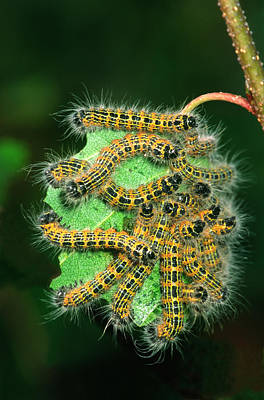 Buff-tip Moth Caterpillars Poster by Nigel Downer