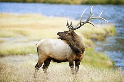 Bull Elk Bugling Lllll Poster by Gary Langley