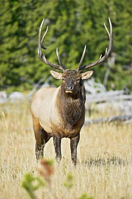 Bull Elk IIII Poster by Gary Langley